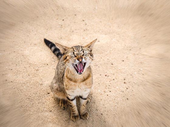 chat-qui-miaule