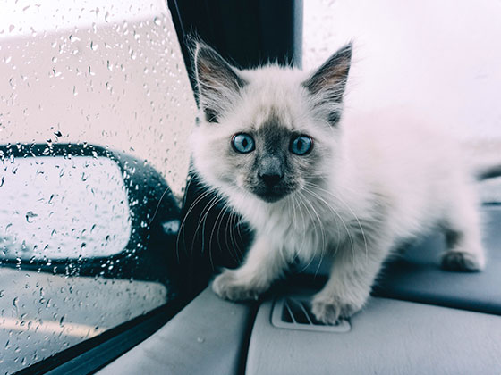chat-voiture-demenagement